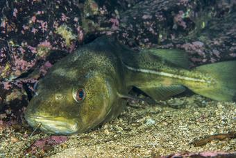 Atlantic cod photo