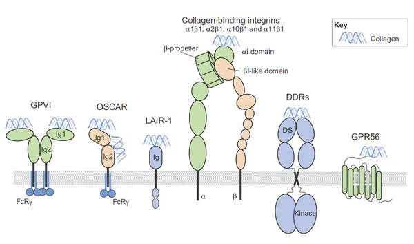Collagen receptors on cell surface