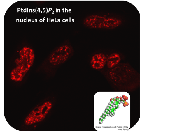 PtdIns45P2 staining in nucleus of HeLa cells