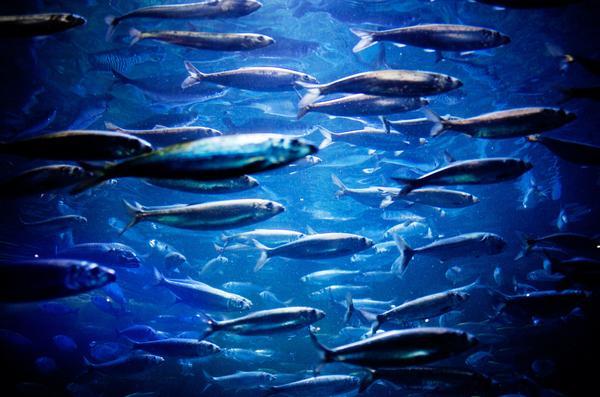 Sildestim / Shoal of herring