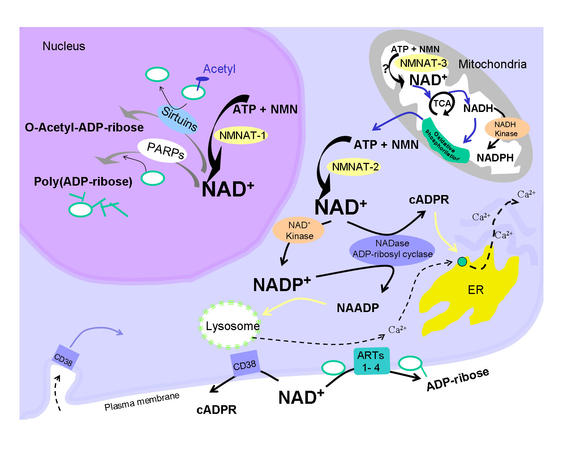 Compartmentalization of NAD