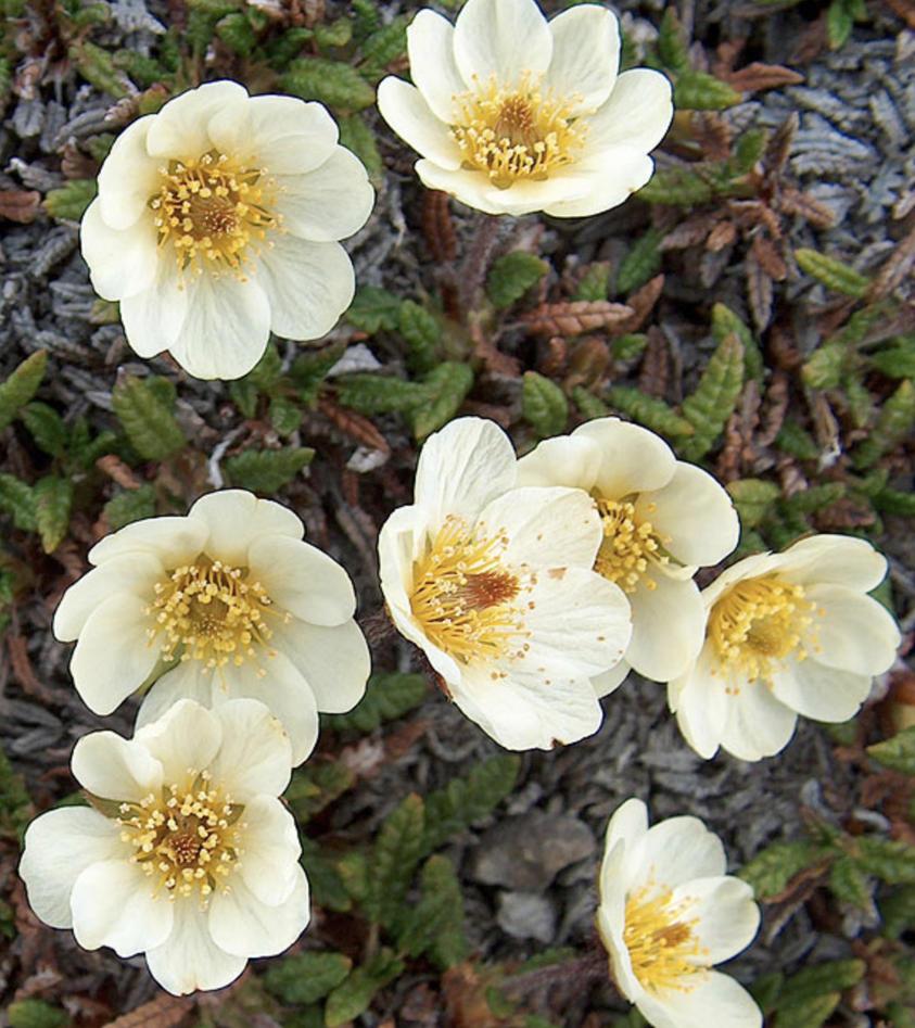 reinrose