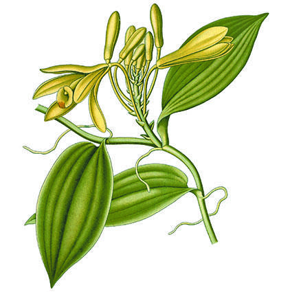 Vaniljeplanten er en tropisk orkidé.