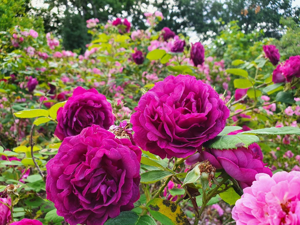 Rosa 'Sigeunerknabe'