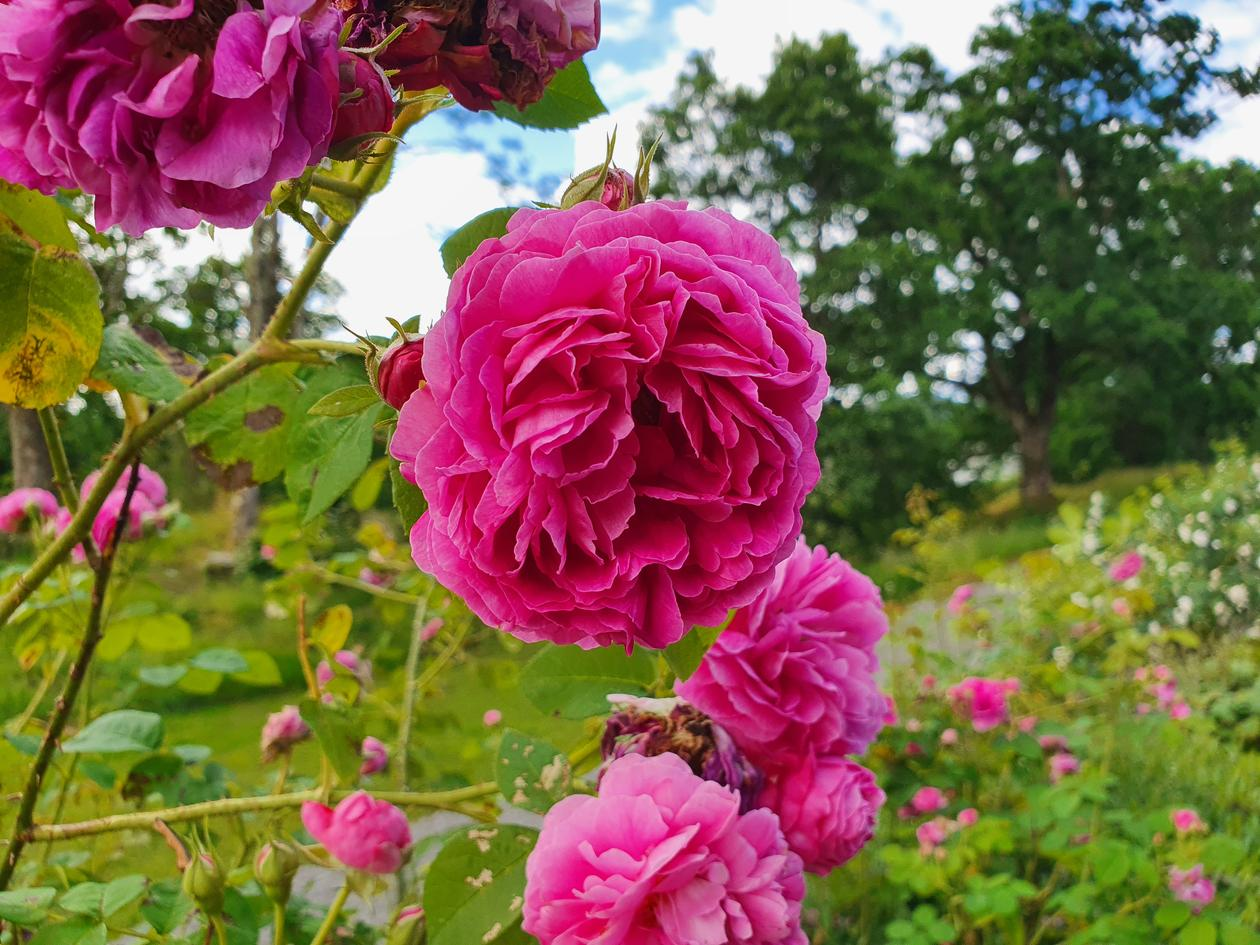 Historic rose 'Great Western'
