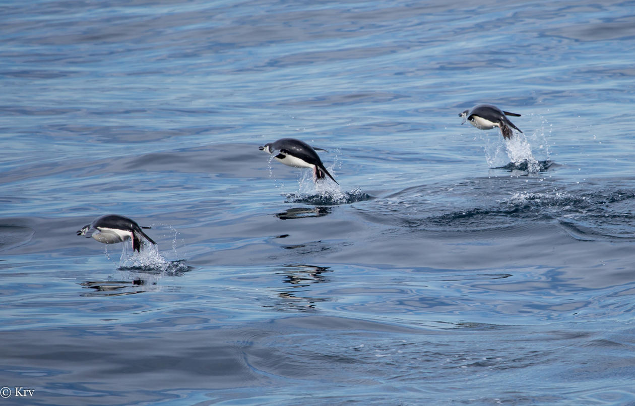 Three penguins jumping to air while swimming in blue ocean