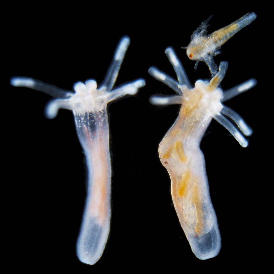 Young Nematostella polyps in an unfed state (left)and fed with brine shrimps (right).