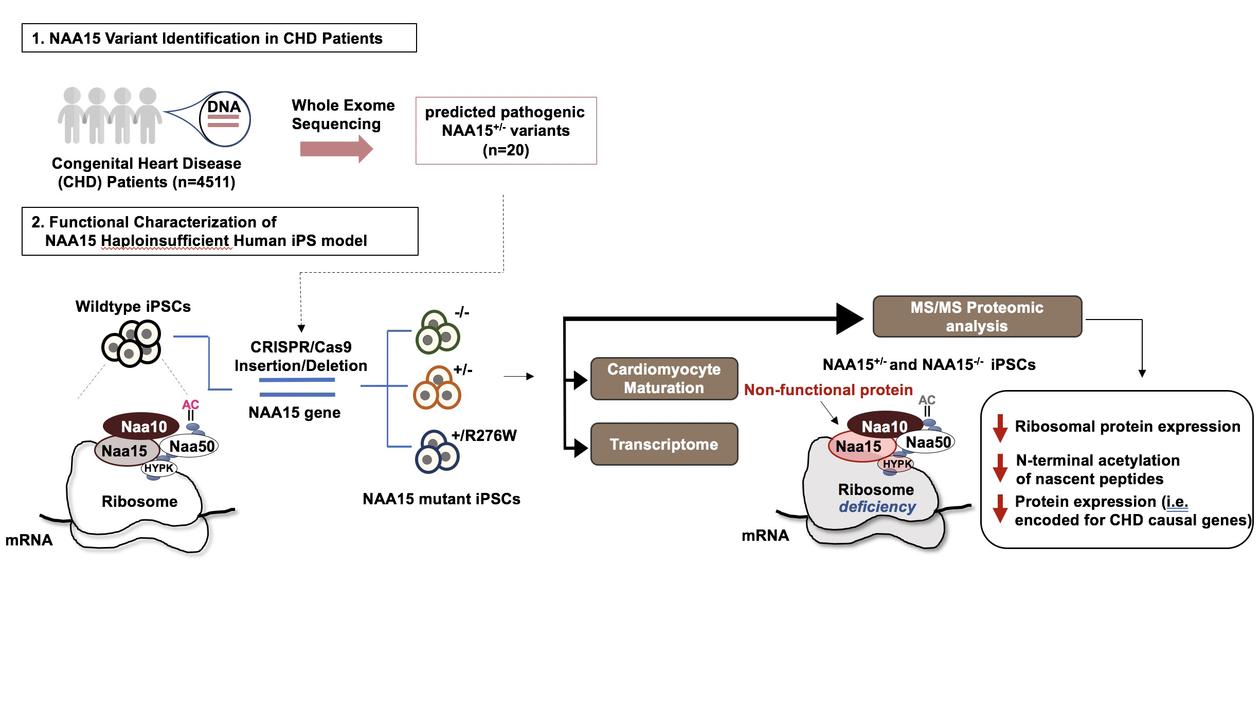 NAA15 variants cause congenital heart disease