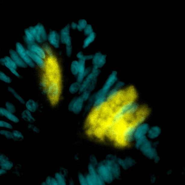 Fluorescent in situ hybridisation of trypsin-expressing digestive gland cells (yellow) in Nematostella vectensis.