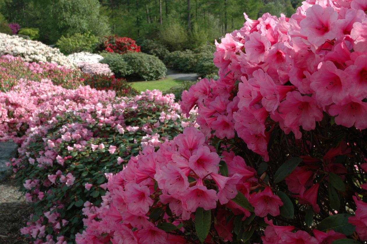 Rhododendron 'Kimbeth' i kultivarsamling