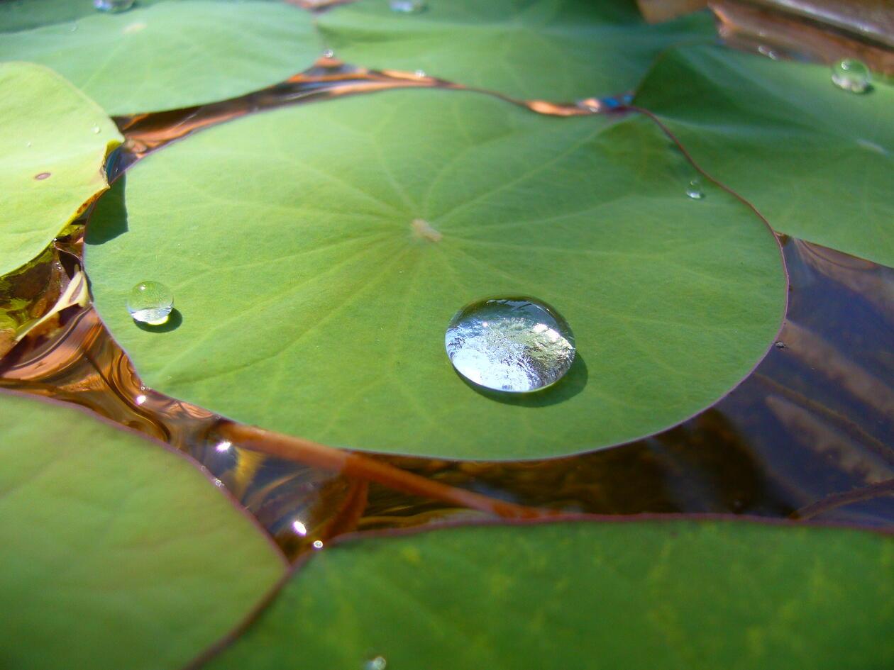 Lotusblomst