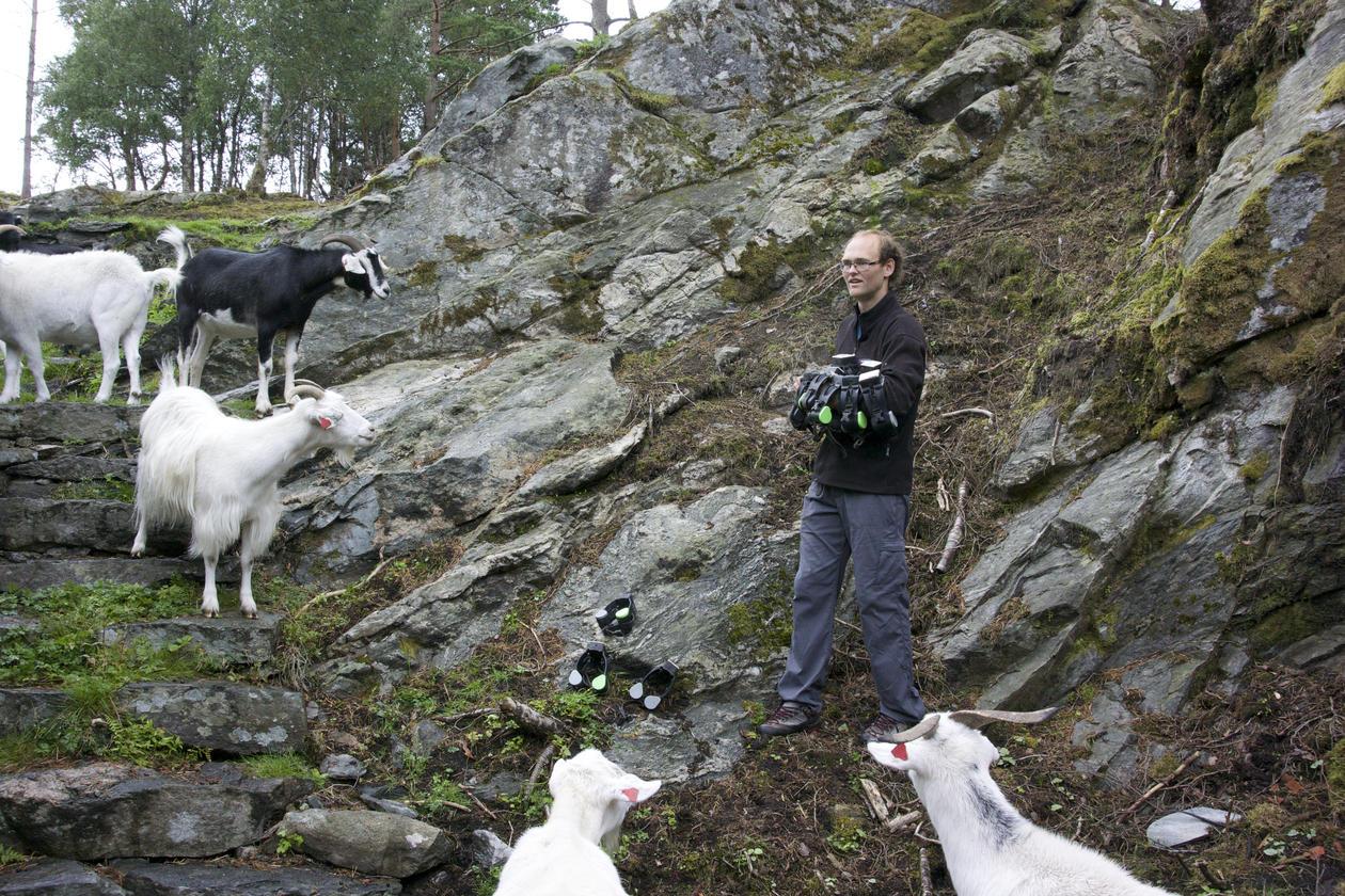 Goats at Storøyen