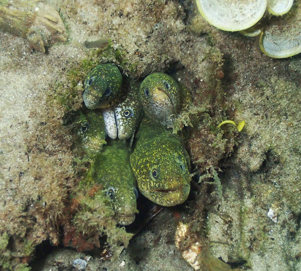 A family of moray eels