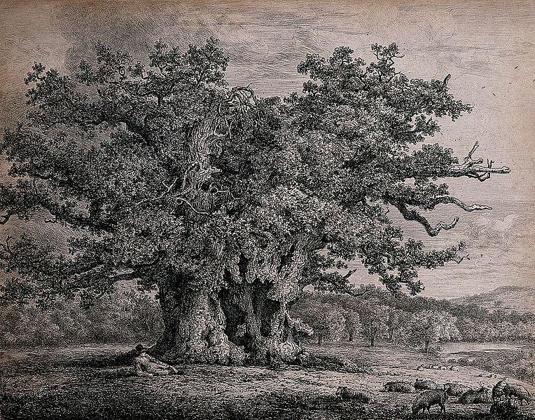 A gnarled and hollow old oak tree (Quercus robur L.)