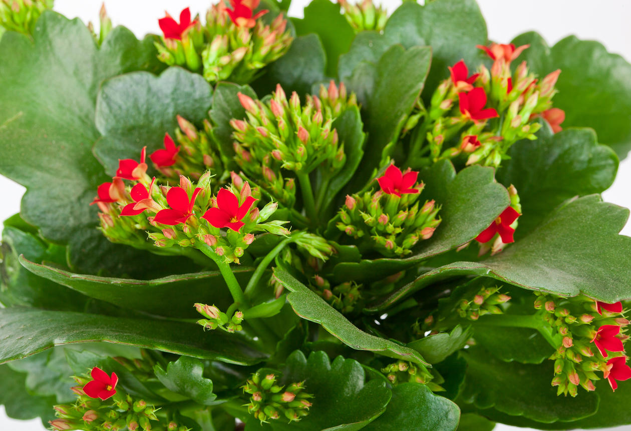 Ildtopp med røde blomster