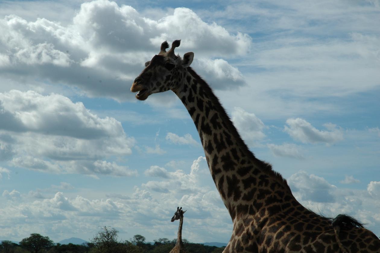 Fotografi av en giraff
