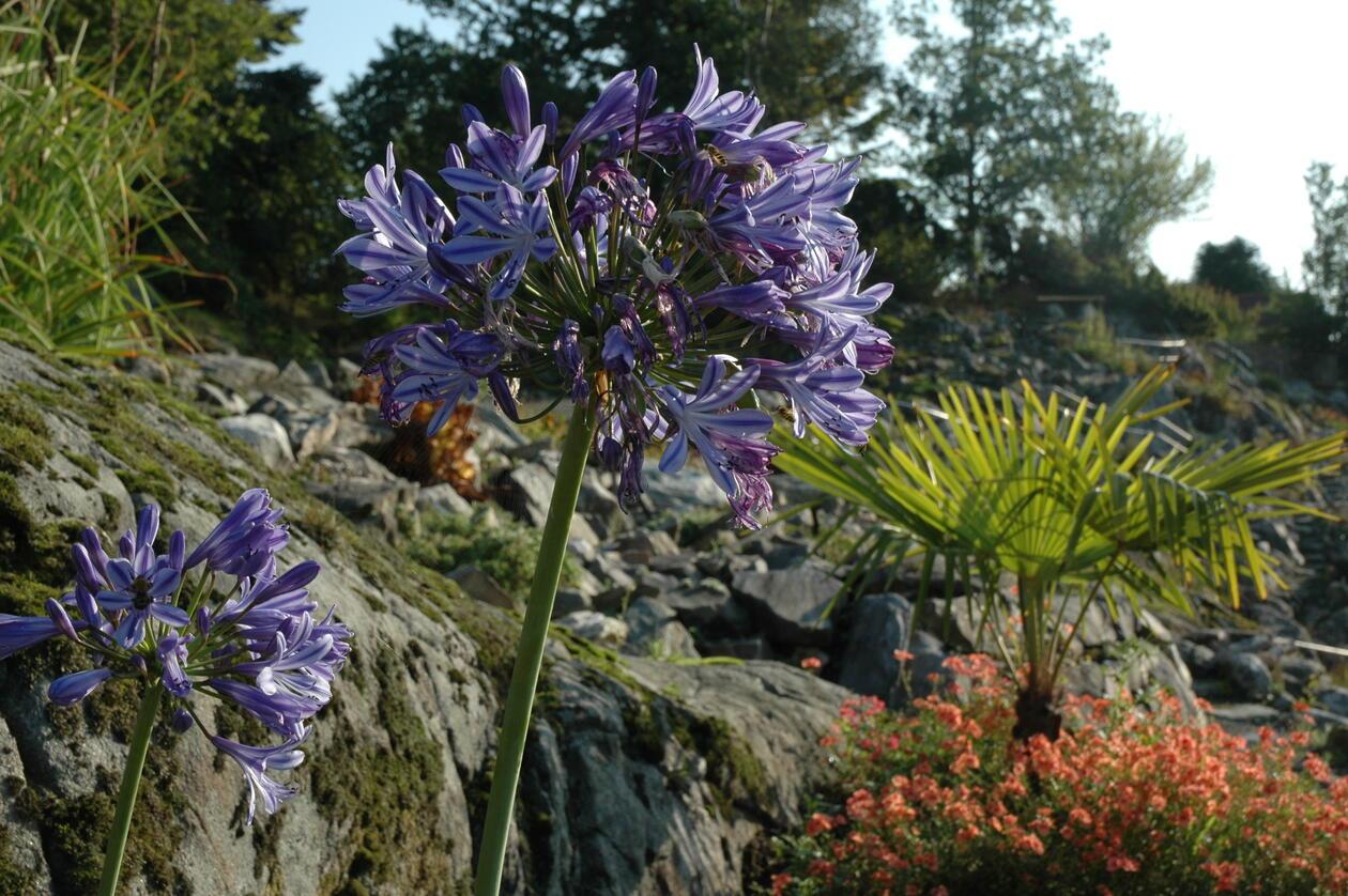 Agapanthus campanulatus i høstsol