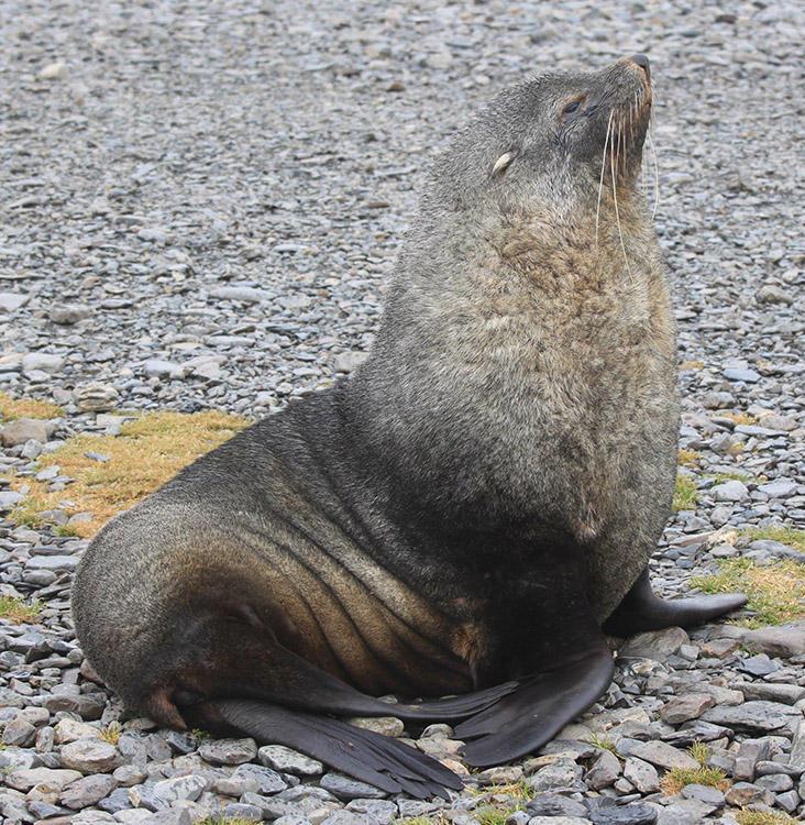 Antarctic fur seal on a stony beach