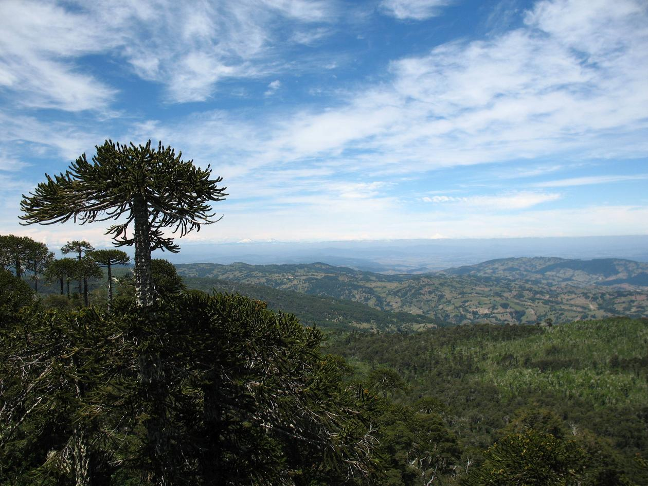 Araucaria at Nahuelbuta, Chile