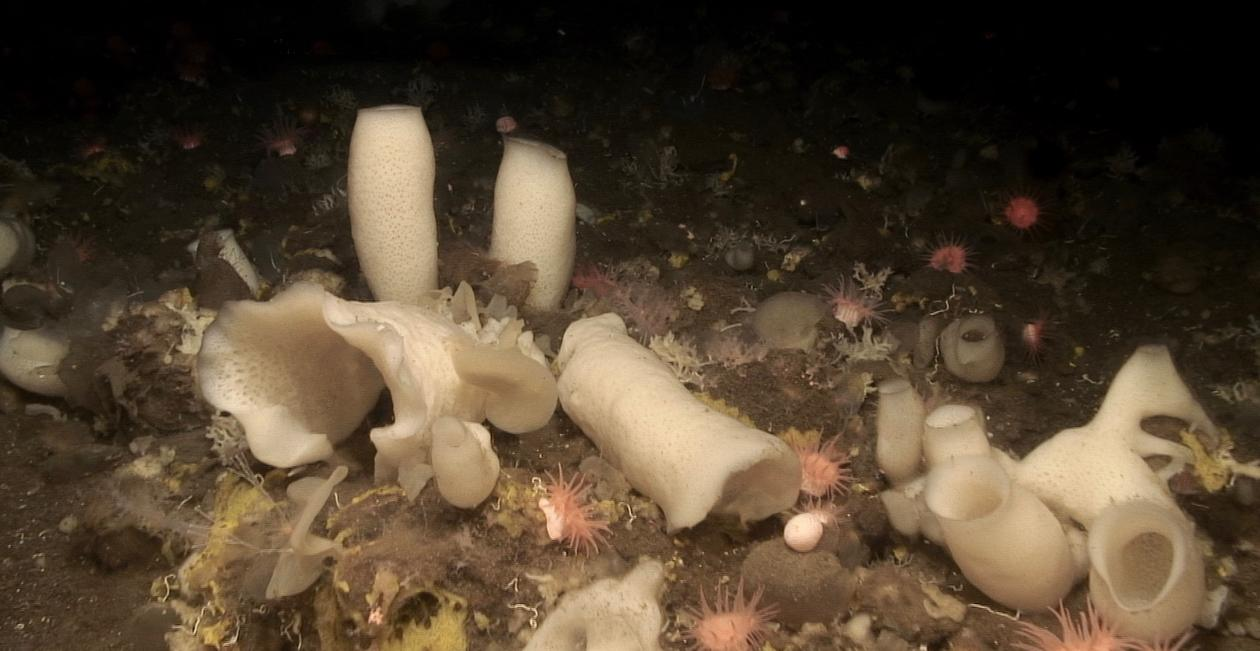 SPONGES WITH POTENTIAL: Sponge grounds in the deep ocean are vulnerable, but vital for the ocean's circuits. This is a sponge ground 600 meters under the sea, near the Schultz  Massive, near Svalbard in the Norwegian part of the Arctic.