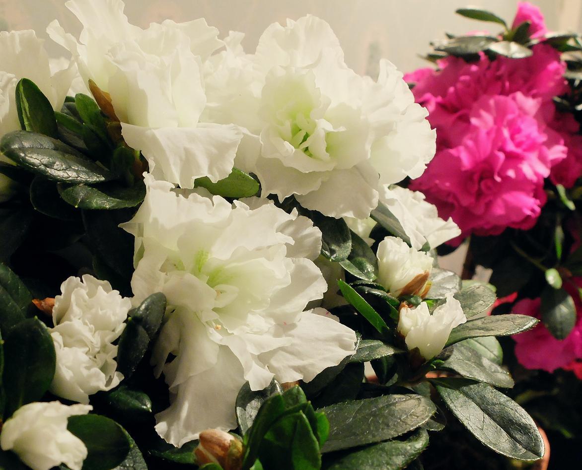 Hvit og rosa juleasalea