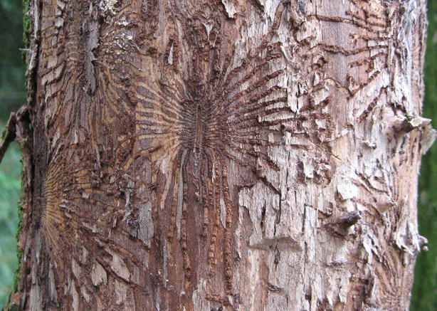 Traces of where bark beetles have destroyed the bark on a tree trunk