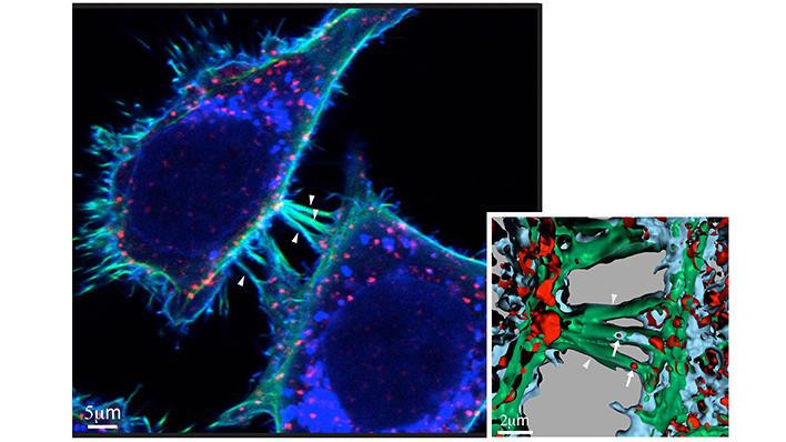 Kreftceller utveksler protein via nanorør mellom to naboceller