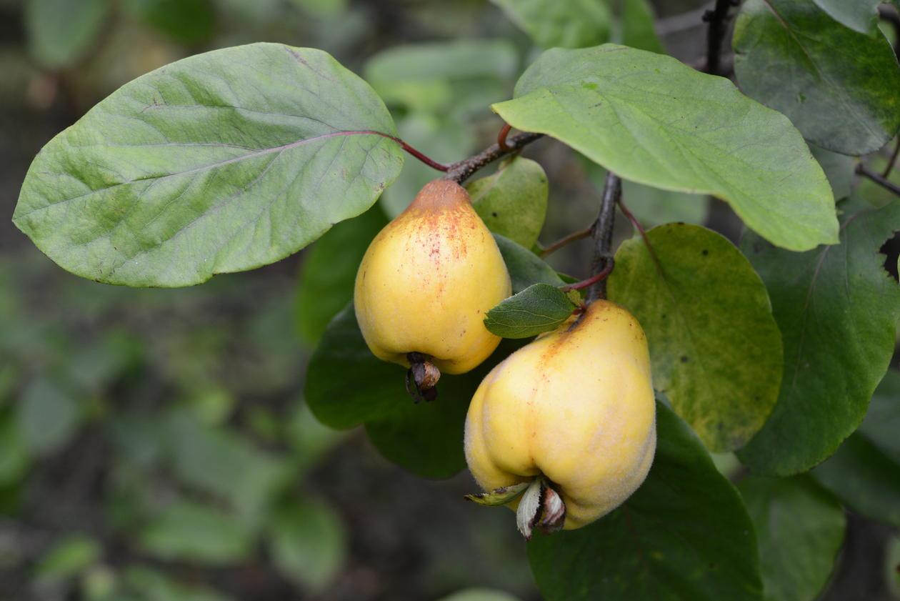 Fruktene til kvede