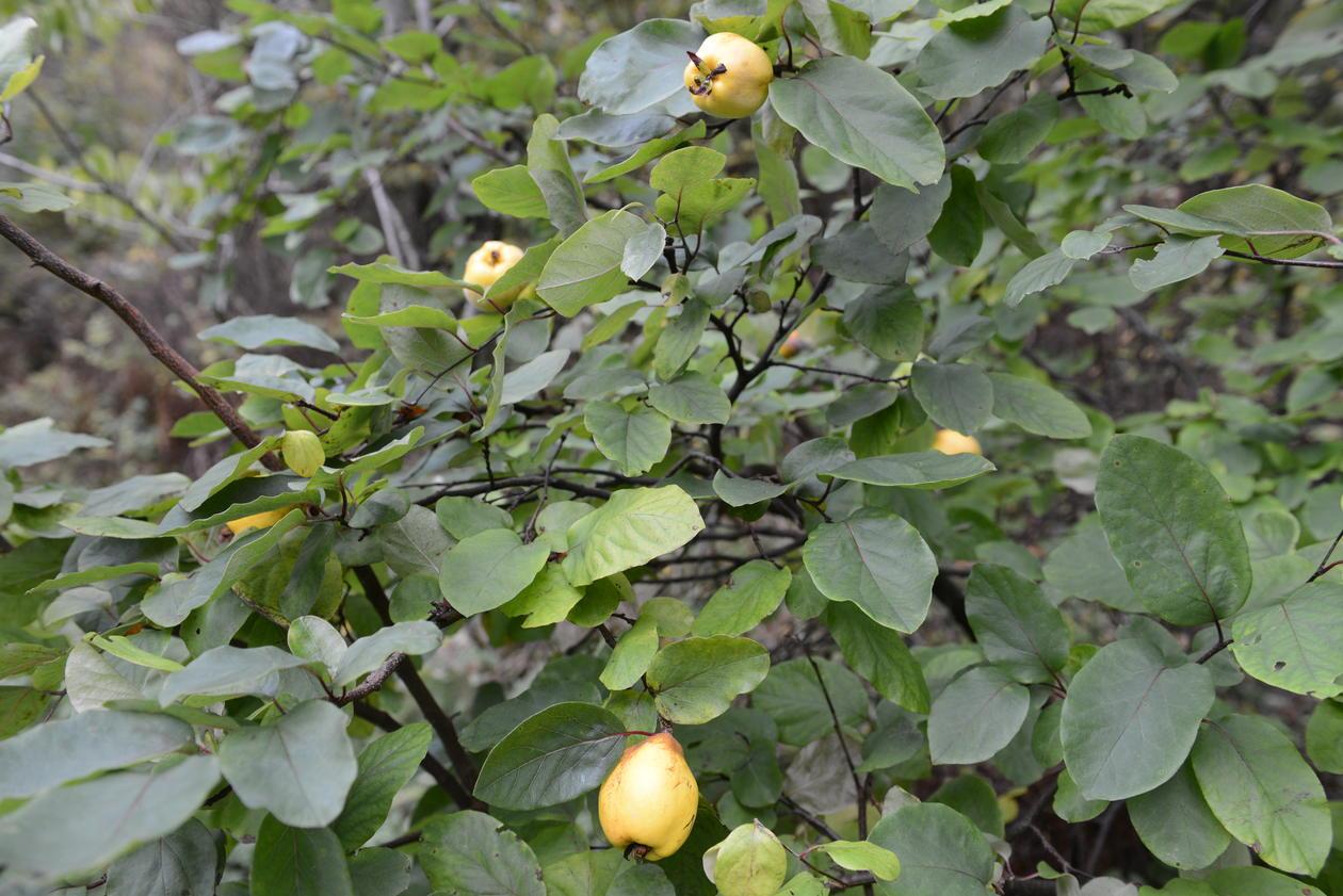 Kvede i Hatlehaugen har ni frukter.