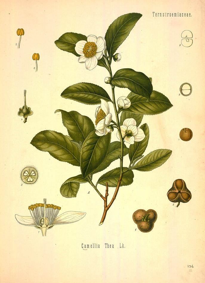 Teplanten, camellia sinensis