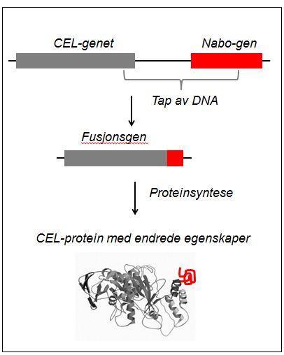 Illustrasjon av hvordan CEL-genet fusjonerer