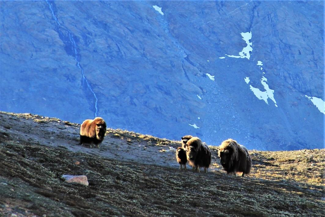 muskox at Greenland