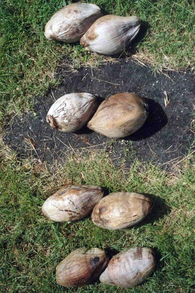 Kokosnøtter