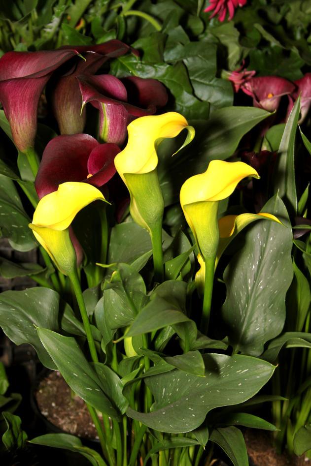 Stuekala med gule blomster