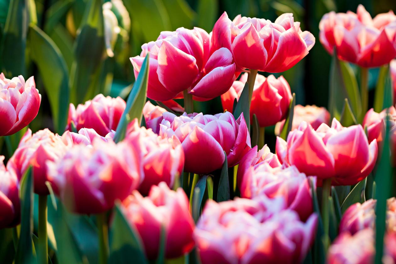 Tulipanar