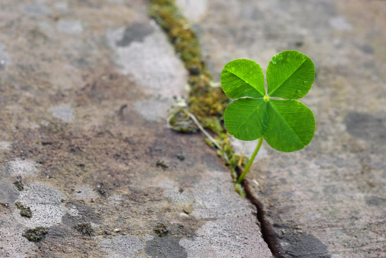 four leafed clover growing in a crack in the footpath
