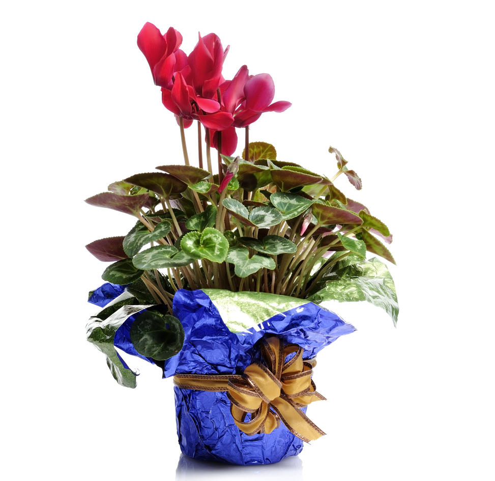 Alpefiol i gavepakket potte