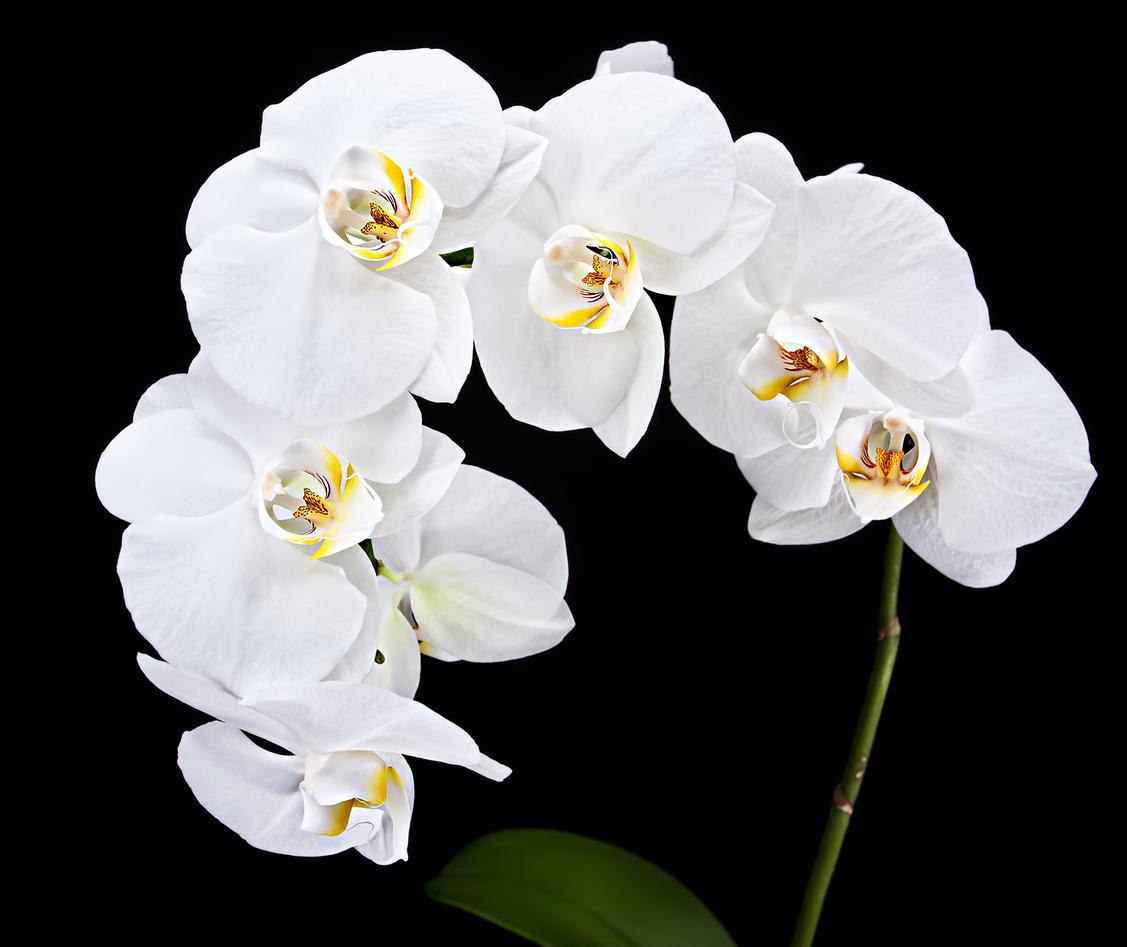 hvite orkideer