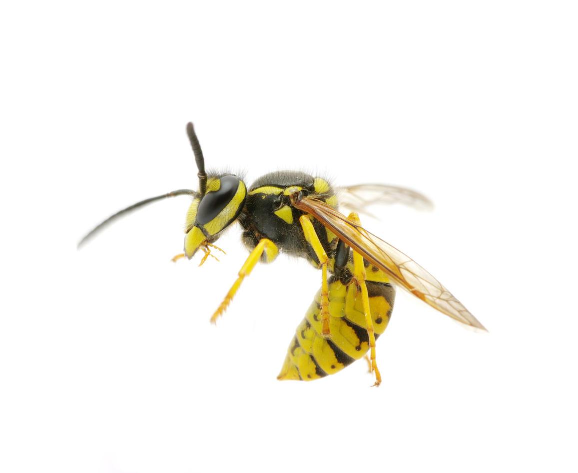 Wasp. Illustration