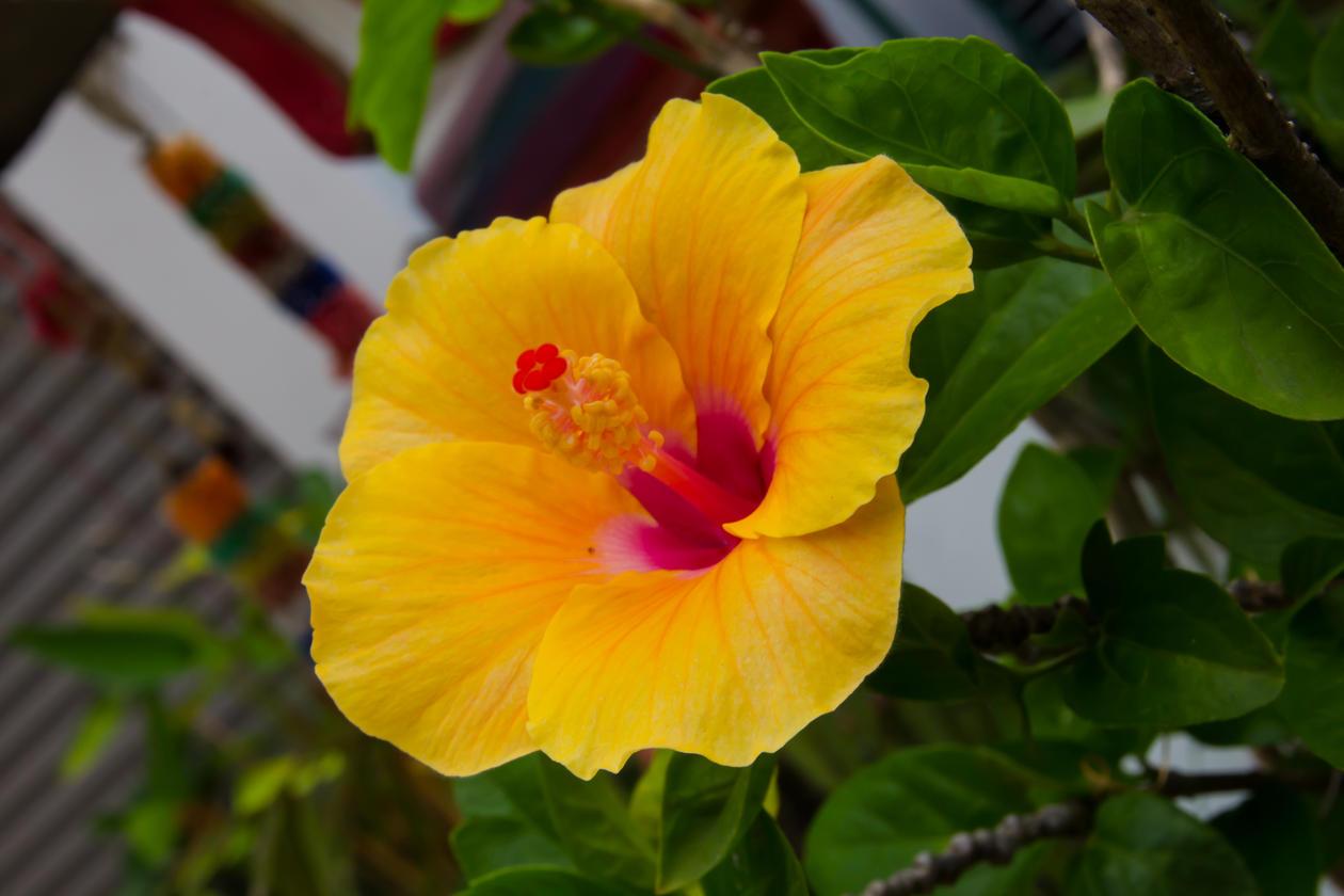 Hawairose