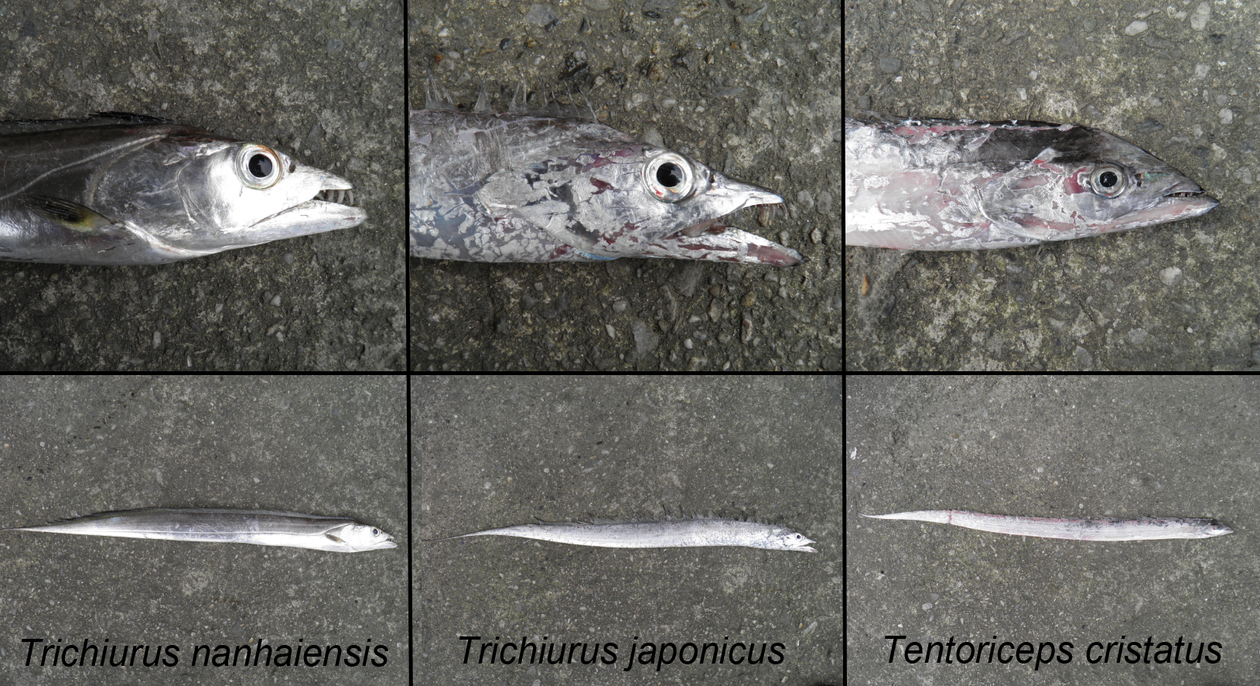 Head and whole body photographs of three cutlassfish species