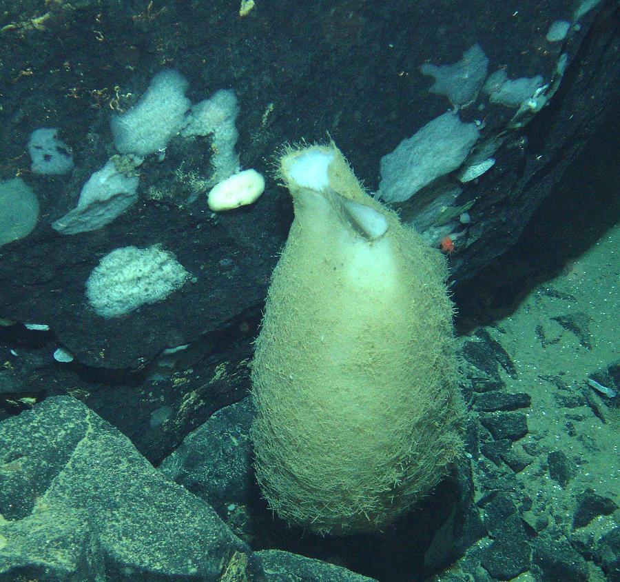 Deep sea sponge