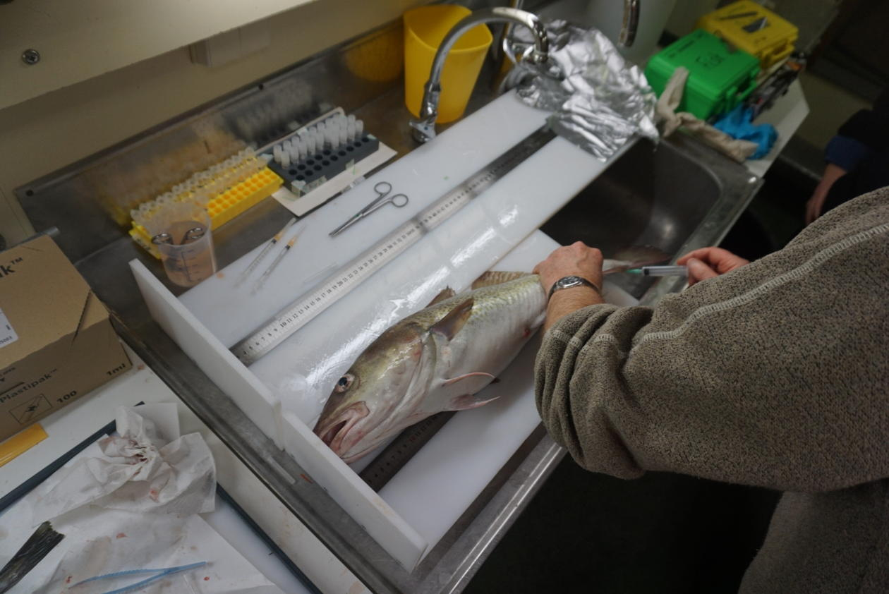 Extracting blood sample from an Atlantic cod