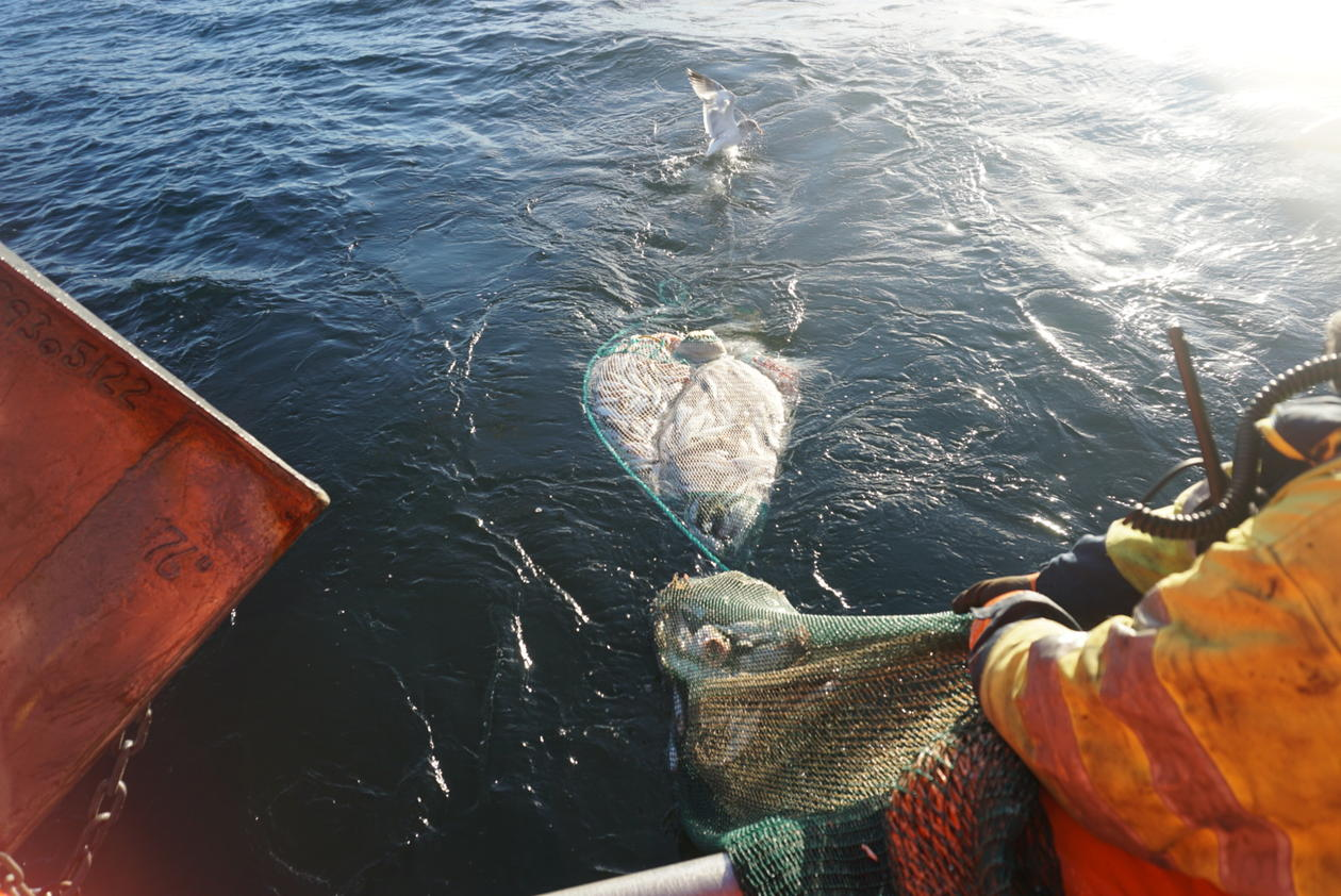 A lot of fish were caught using trawler