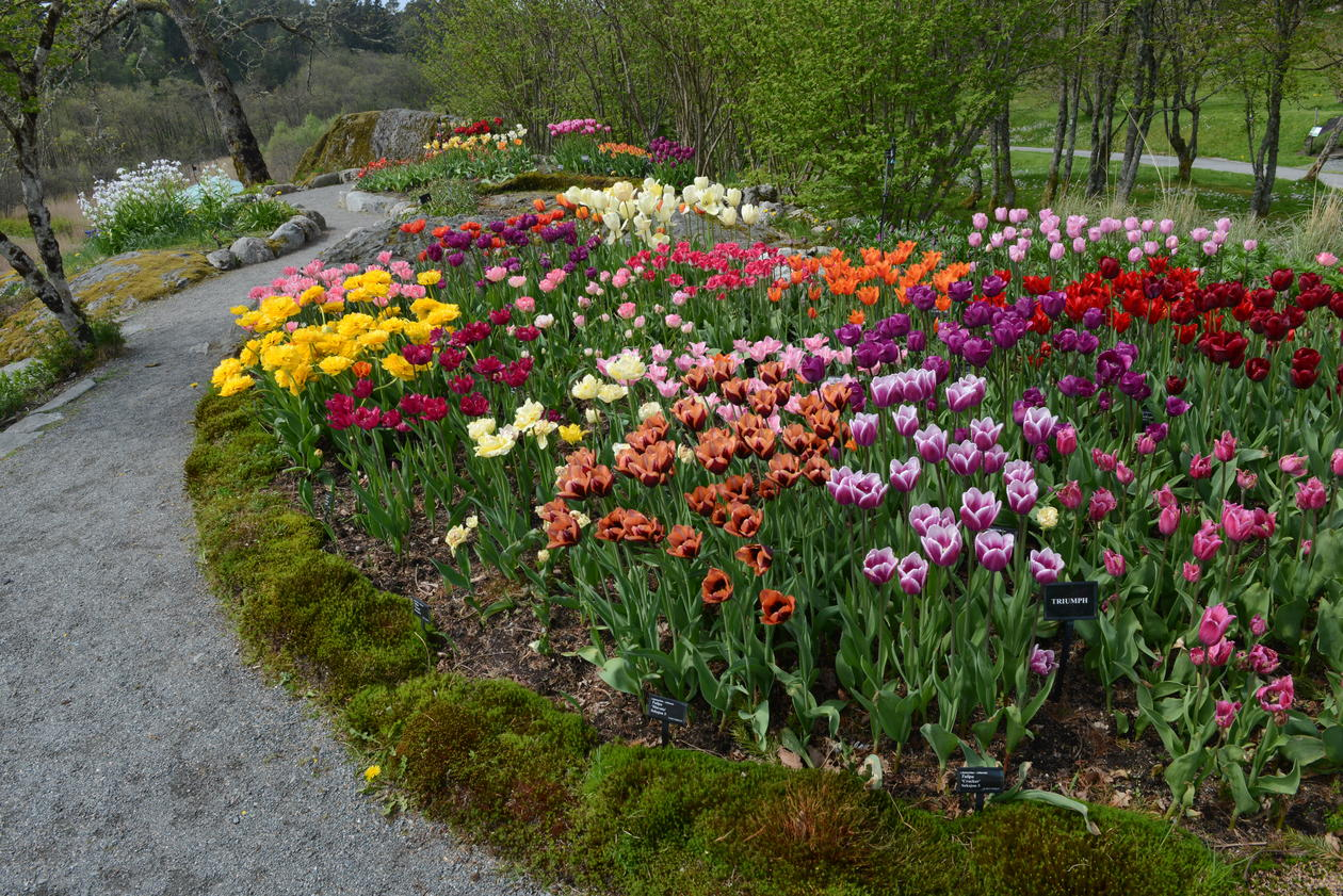 Tulipaner i Botanisk hage2018