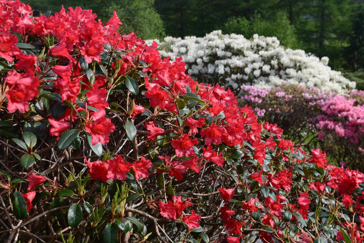 RhododendronKultivar