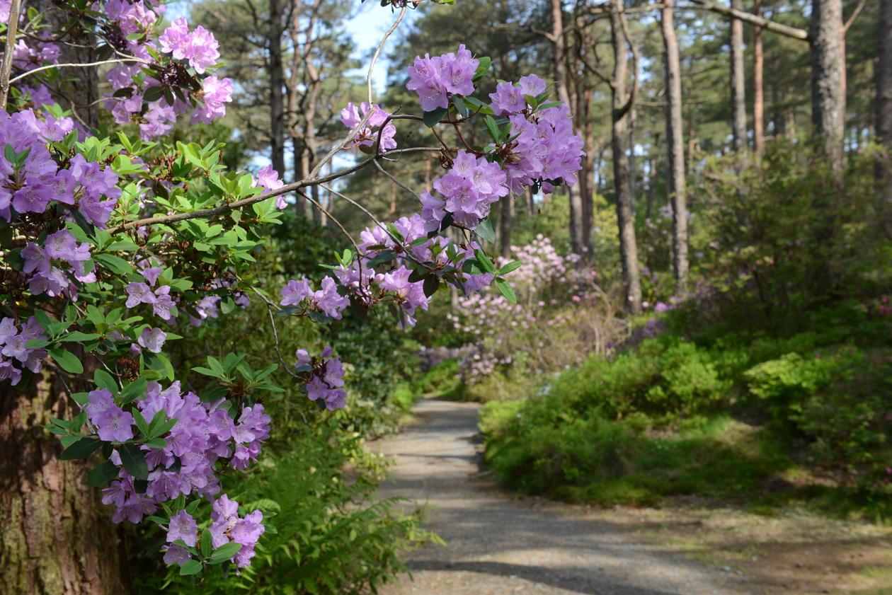 Artssamlingen til Rhododendron.