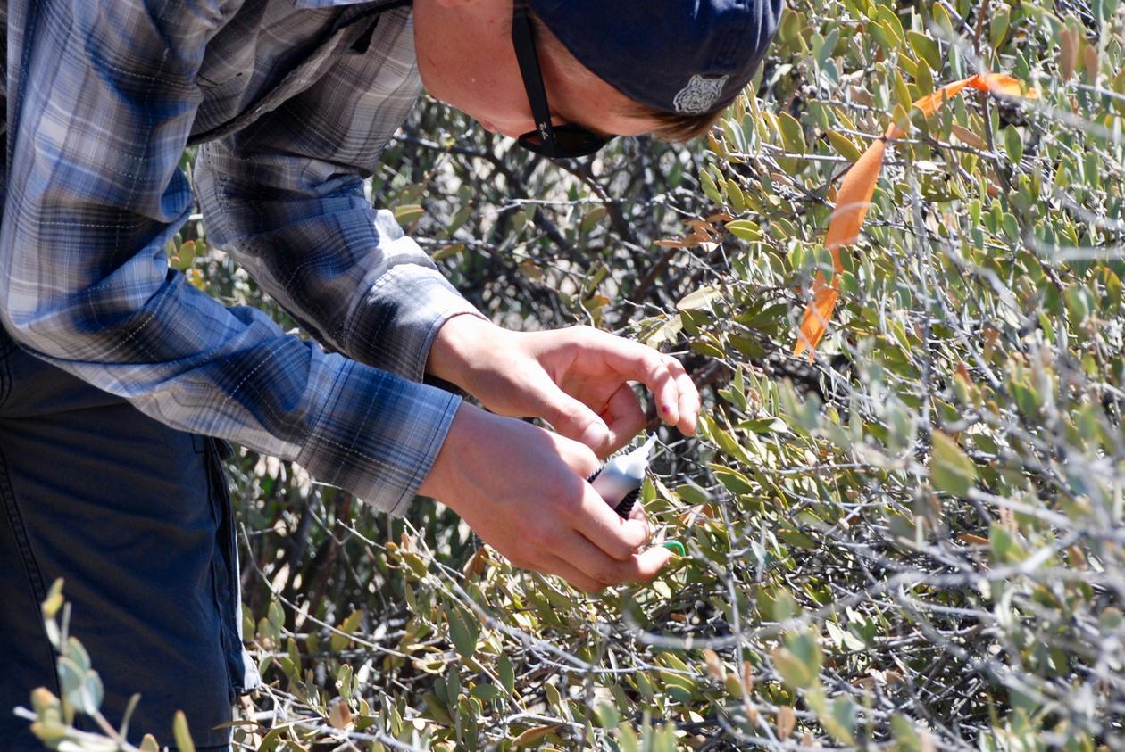 Utplassering av larver