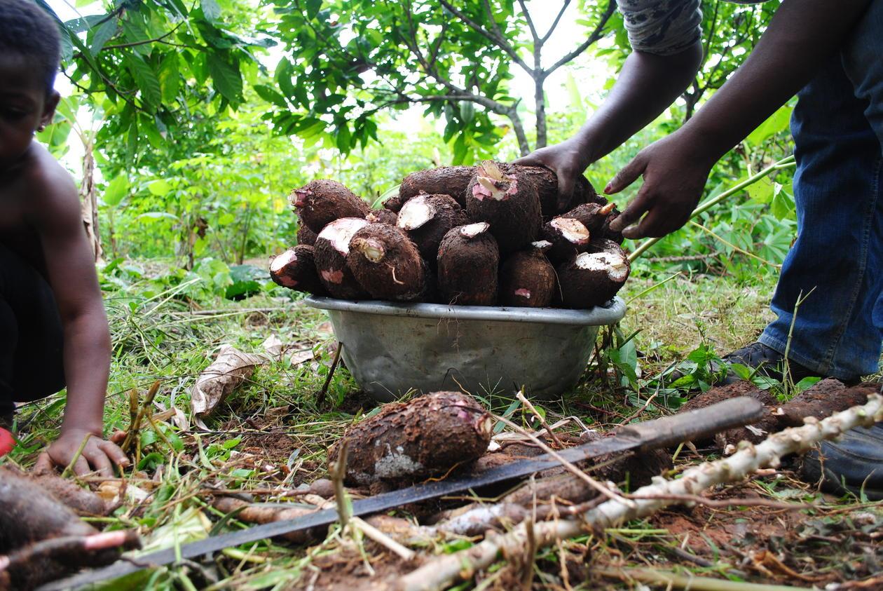 Stabler cassava som nettopp er tatt opp av jorda.