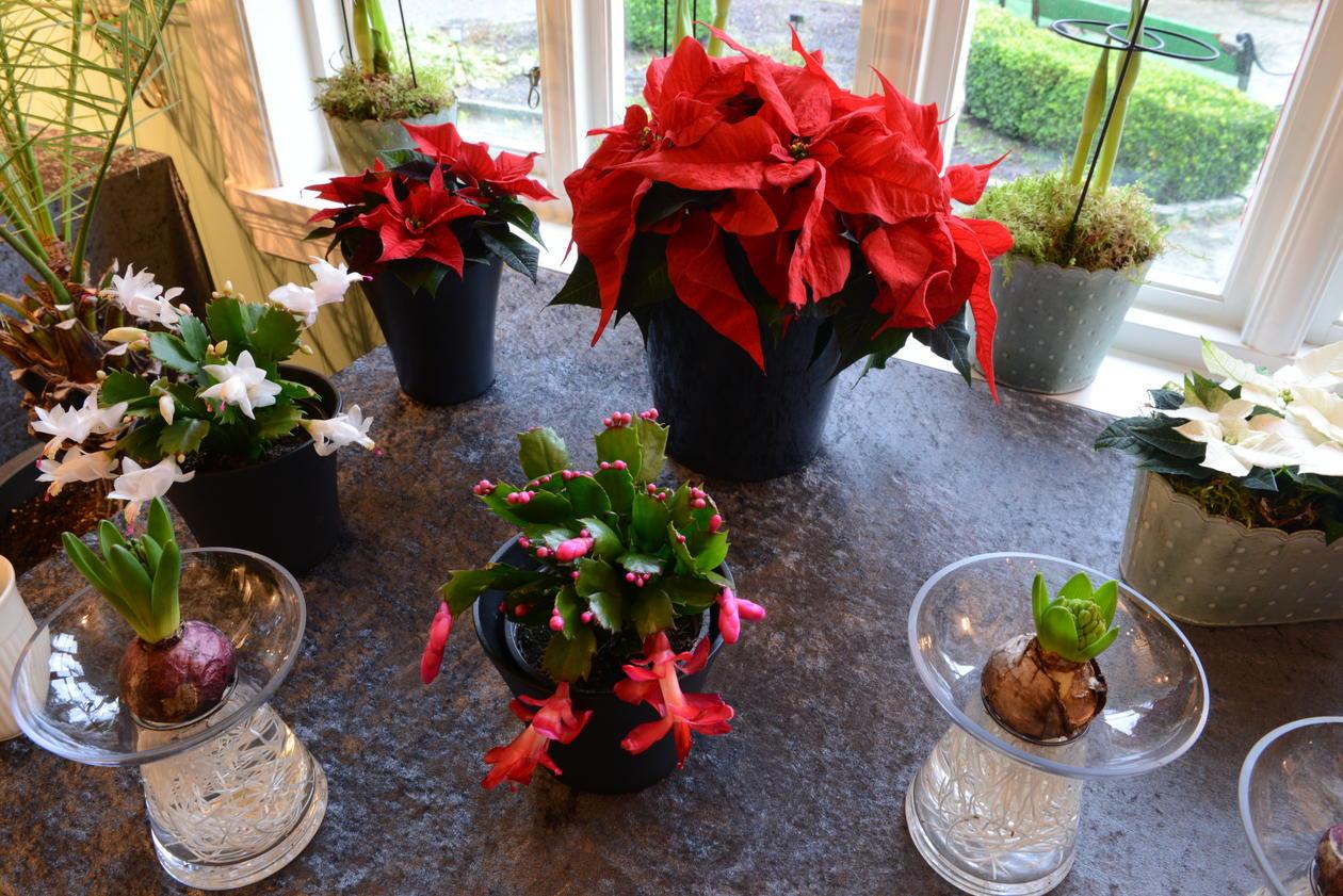 Julestjerne og julekaktus i Blondehuset.